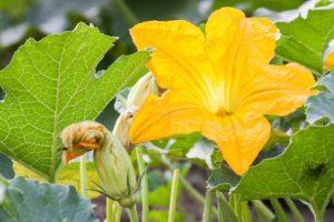 flores-de-calabaza-beneficios-para-la-salud