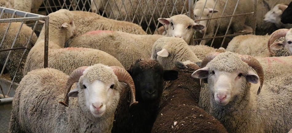 Los beneficios de la carne de cordero.